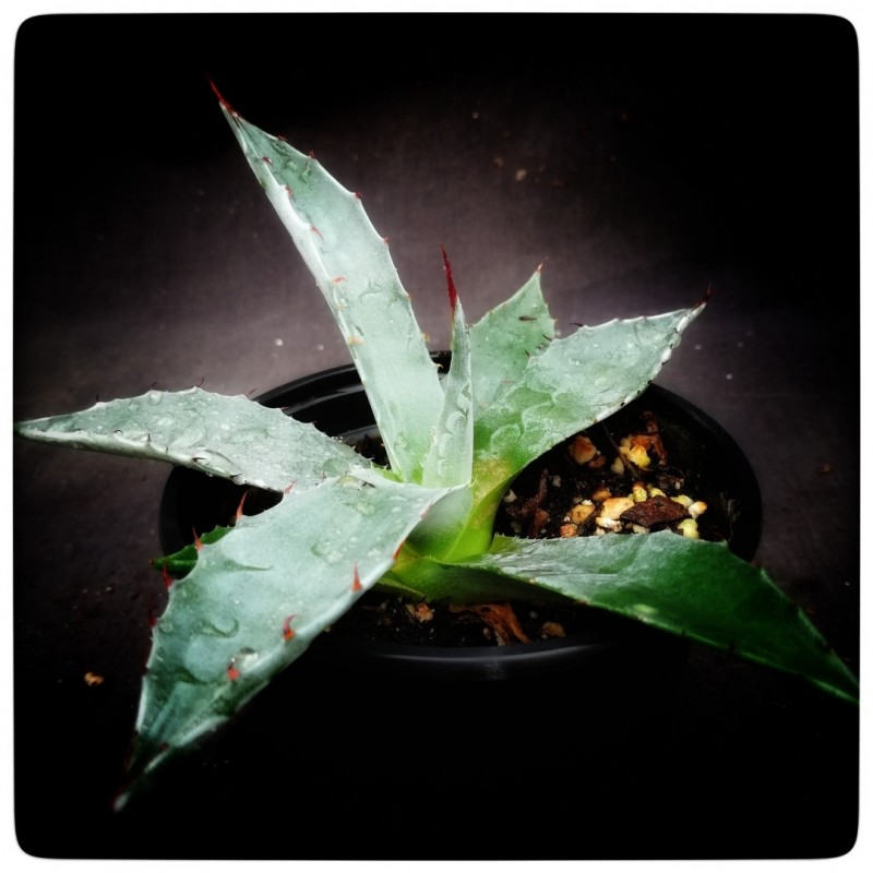 Agave gentry