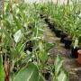 Strelitzia reginae, 30 ltr, pot, 2 x plant height 60-80 cm
