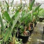 Strelitzia reginae, 30 ltr, pot, 3 x plant height 60-80 cm