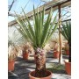 Yucca faxoniana, trunk/plant/total 60/120/145 cm (BR-01)