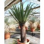 Yucca faxoniana, trunk/plant/total 70/117/142 cm (BR-02)