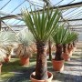 Yucca faxoniana, trunk/plant/total 75/122/145 cm (BR-04)