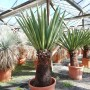 Yucca faxoniana, trunk/plant/total 55/110/135 cm (BR-05)