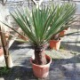 Yucca faxoniana, trunk/plant/total 50/106/133 cm (BR-06)