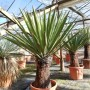 Yucca faxoniana, trunk/plant/total 60/115/145 cm (BR-07)