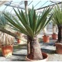 Yucca faxoniana, trunk/plant/total 50/100/125 cm (BR-08)