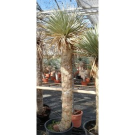 Yucca rostrata trunk/plant/total  165/205/230 cm (25R02)