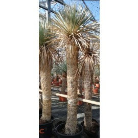Yucca rostrata trunk/plant/total 180/225/230 cm (25R03)