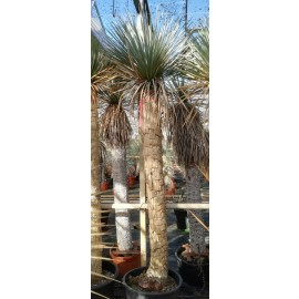 Yucca rostrata trunk/plant/total 180/225/255 cm (25R14)