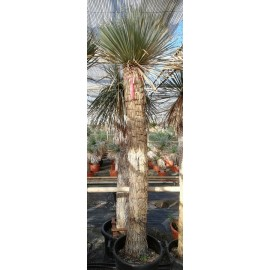 Yucca rostrata trunk/plant/total 190/235/265 cm (25R16)
