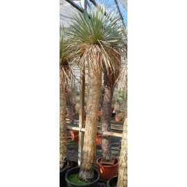 Yucca rostrata trunk/plant/total 200/240/270 cm (25R19)