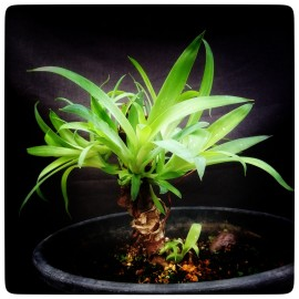 Agave attenuata, 10 heads!, plant/total 24/42 cm (H6)
