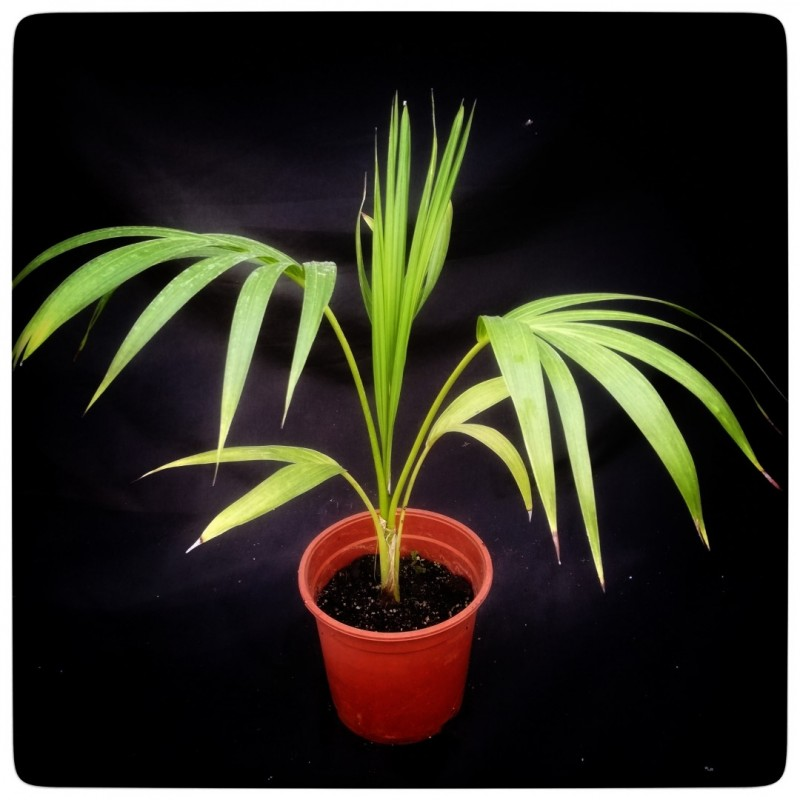 Kentia / Howea forsteriana