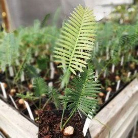 Dioon edule, plant 15-25 cm, P9 pot