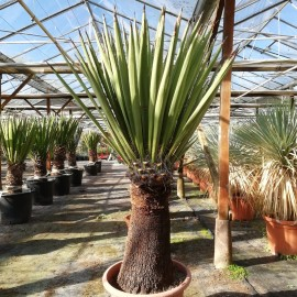 Yucca faxoniana, trunk/plant/total 70/130/155 cm (BR-09)
