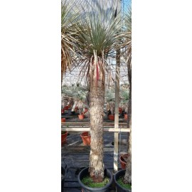 Yucca rostrata trunk/plant/total 160/220/245 cm (25R20)